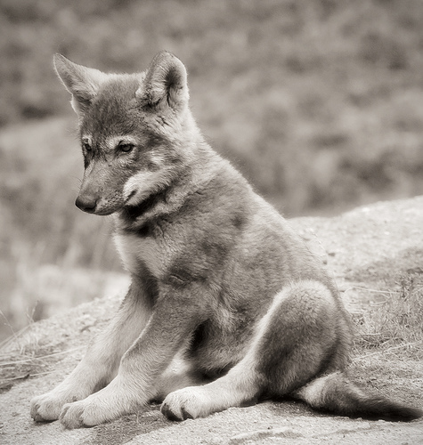 Black And White Wolf Pup. Get ready Wolf Warriors,