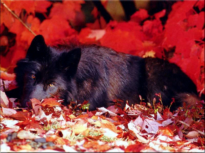 Why does Autumn feel so lonely?..... ( I only need one player in this topic plz ) Black-wolf-in-red
