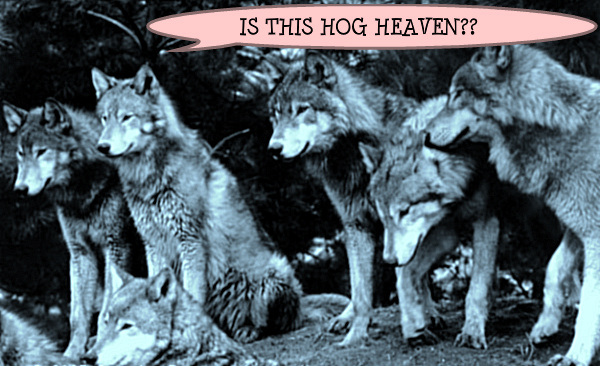 Hog Heaven wolf pack