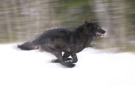 Manada: Guardianes del bosque - Página 38 Romeo-running-in-the-snow-john-hyde-barcroft-media