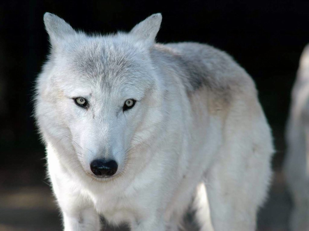 Must see Wallpaper Horse Wolf - white_wolf-1333  Pic_804316.jpg