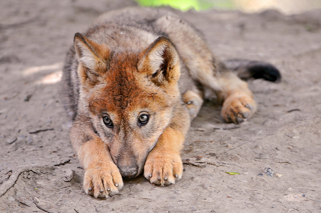 ❦Welcome to Russia❦ Wolf-pup-reddish-coat