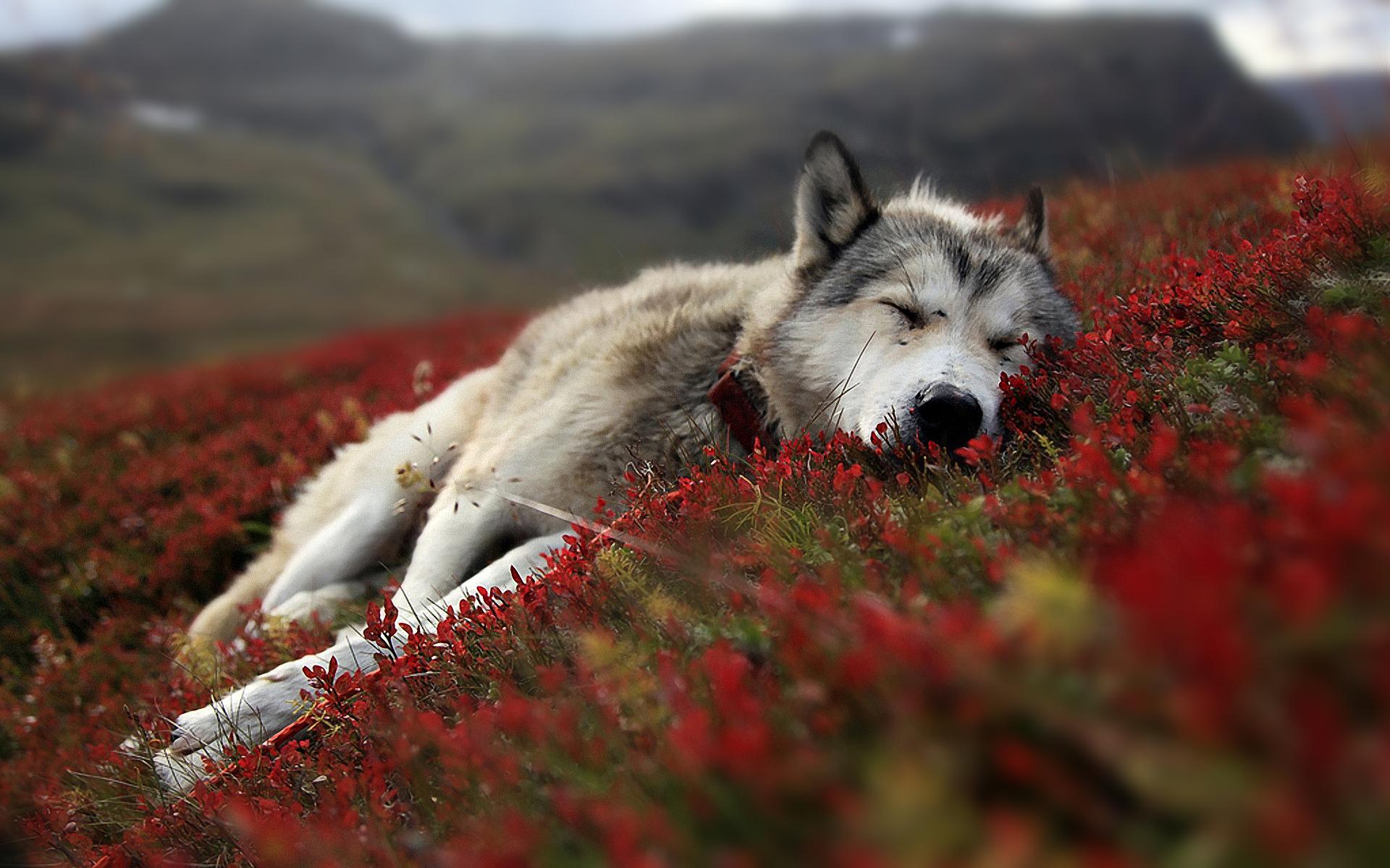 Must see Wallpaper Horse Wolf - wolf-sleeping  Pic_804316.jpg