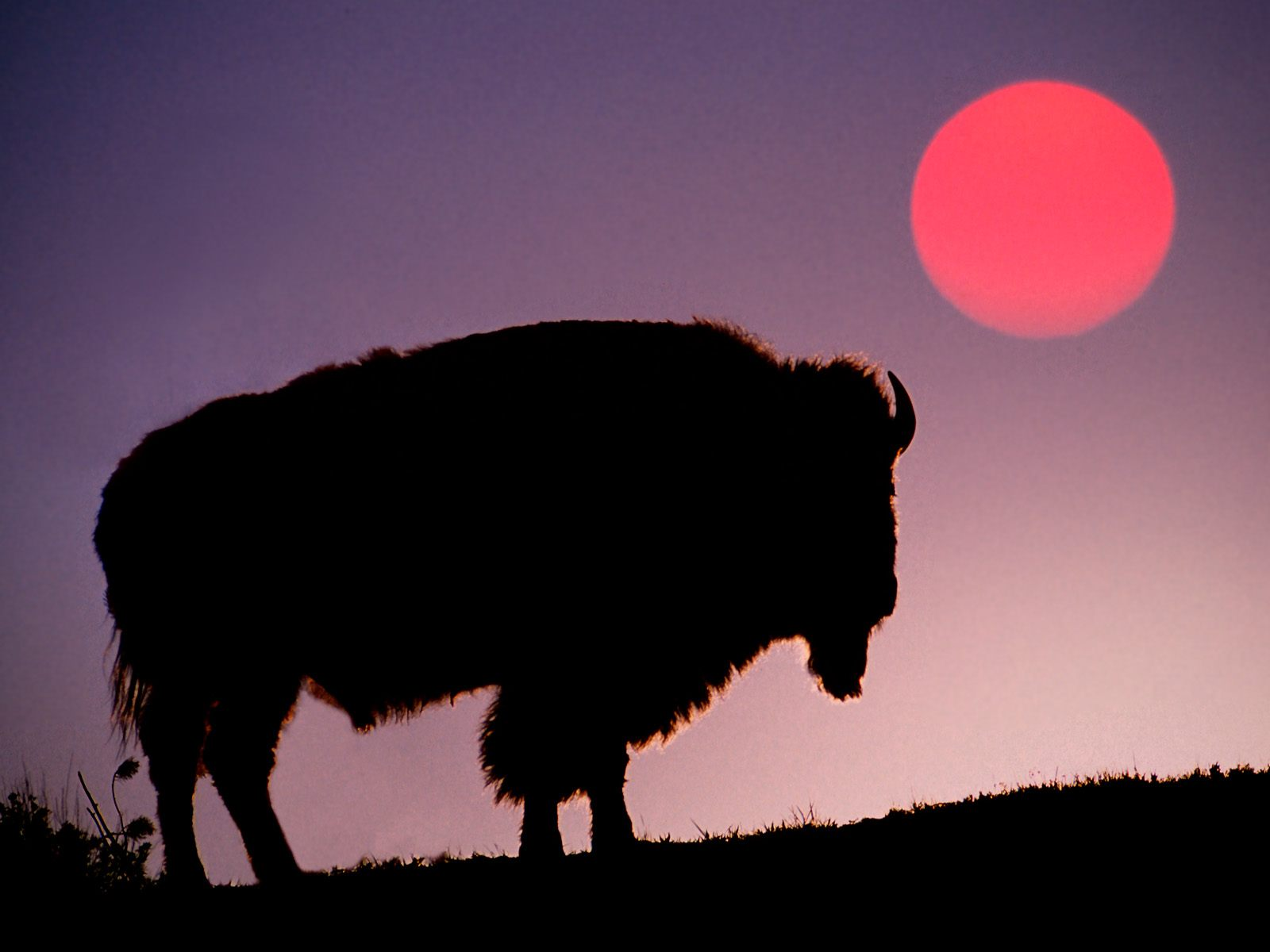 Simple Wallpaper Horse Sunrise - yellowstone-bison-at-sunet  You Should Have_644976.jpg