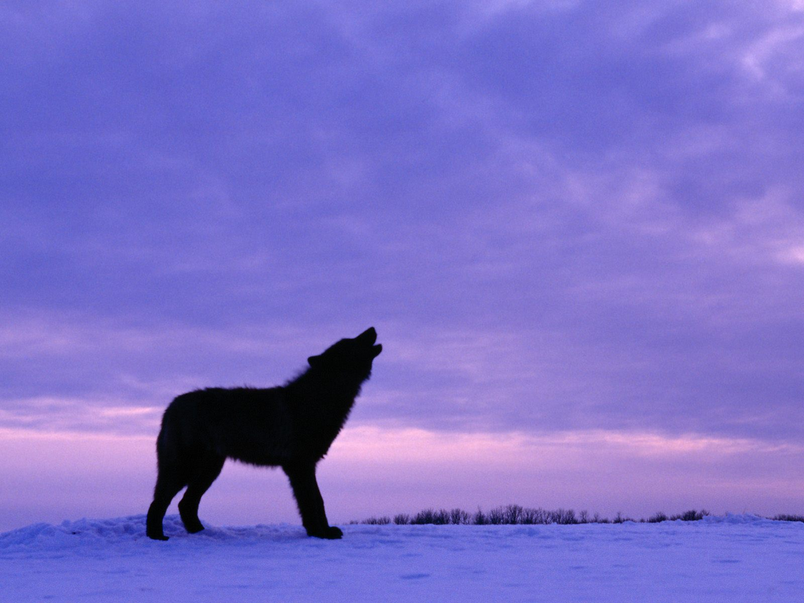 Cool Wallpaper Horse Purple - black-wolf-at-twilight-kewl  Collection_615691.jpg