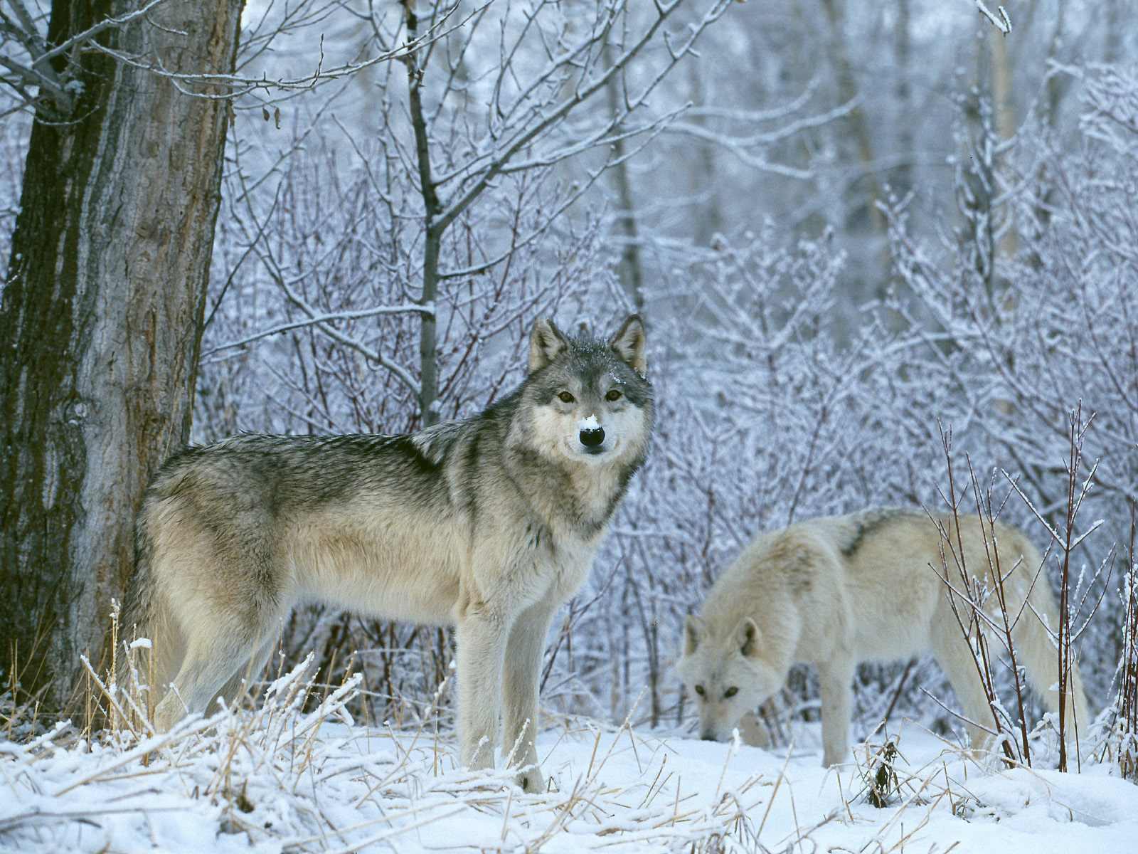 Wolves: Dire Emergency For Wolves