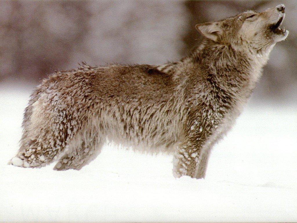 Wonderful Wallpaper Horse Wolf - wolf-howling-fanpop  HD_443130.jpg