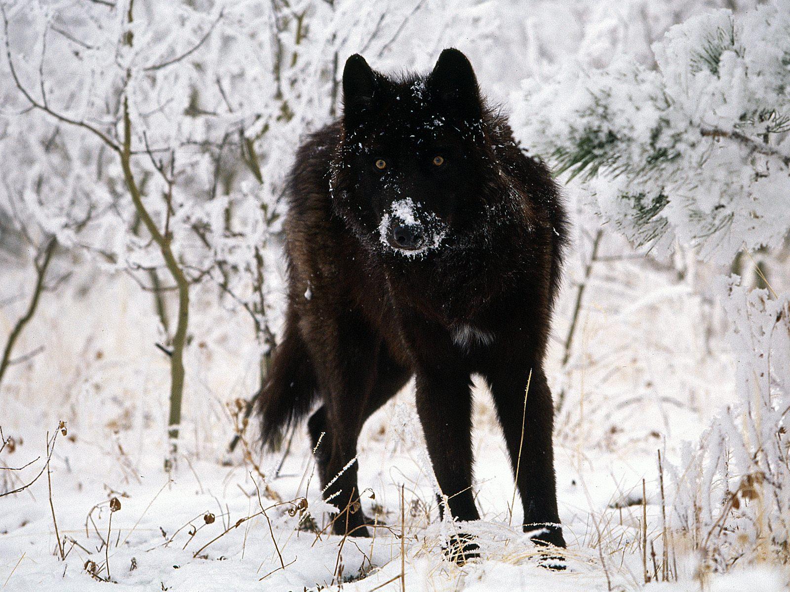 Black wolf in snow beautiful eyes kewl