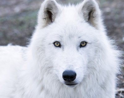 Animal Transfiguration  Wolf-conservation-center-2