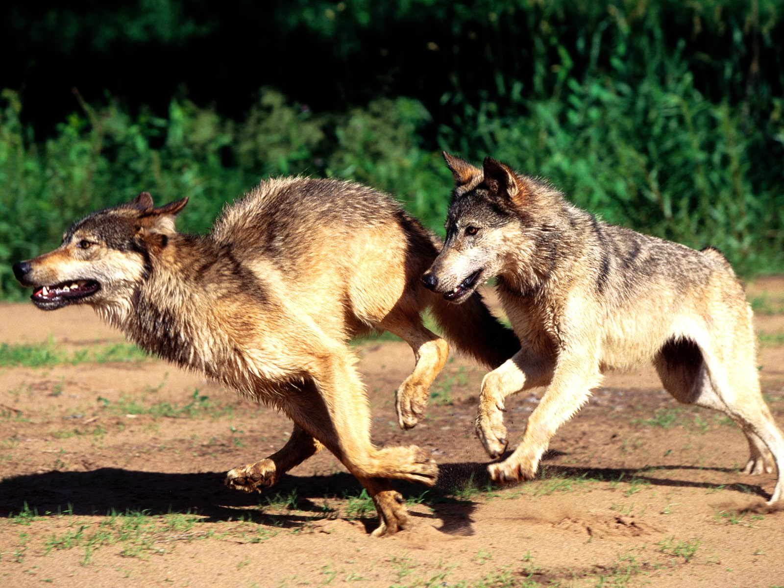 Killing Wolf Pups Howling For Justice