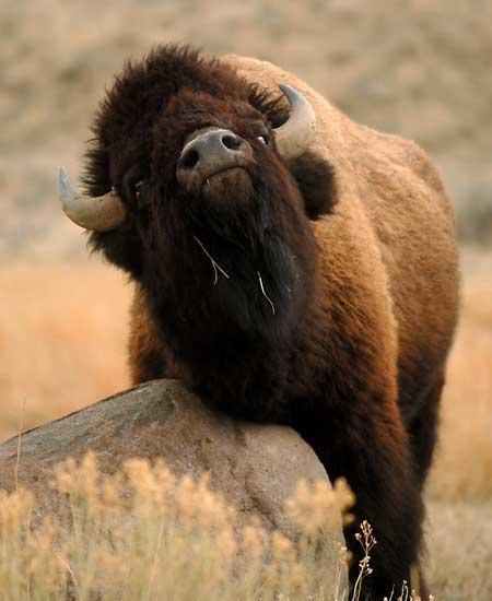 http://howlingforjustice.files.wordpress.com/2011/02/bison.jpg