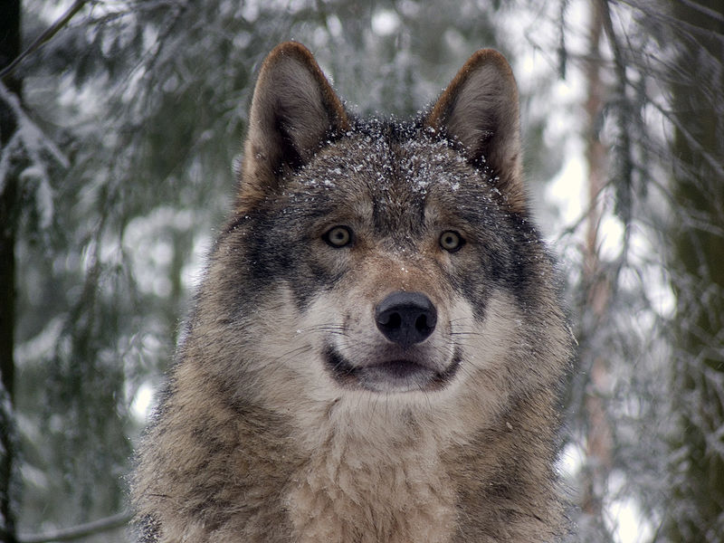 Really Really Bad News For Idaho Wolves Howling For