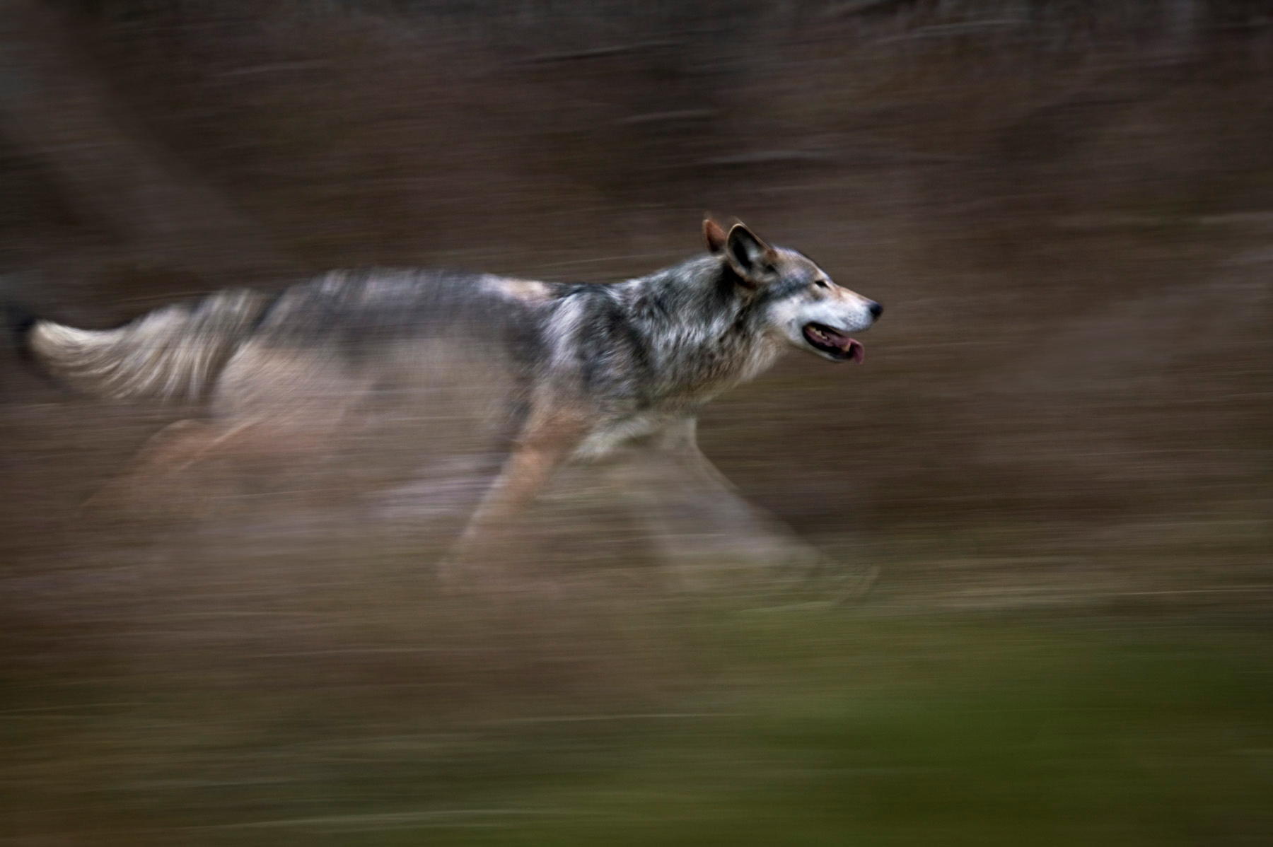 wise wolf forgive man�s ignorance� howling for justice