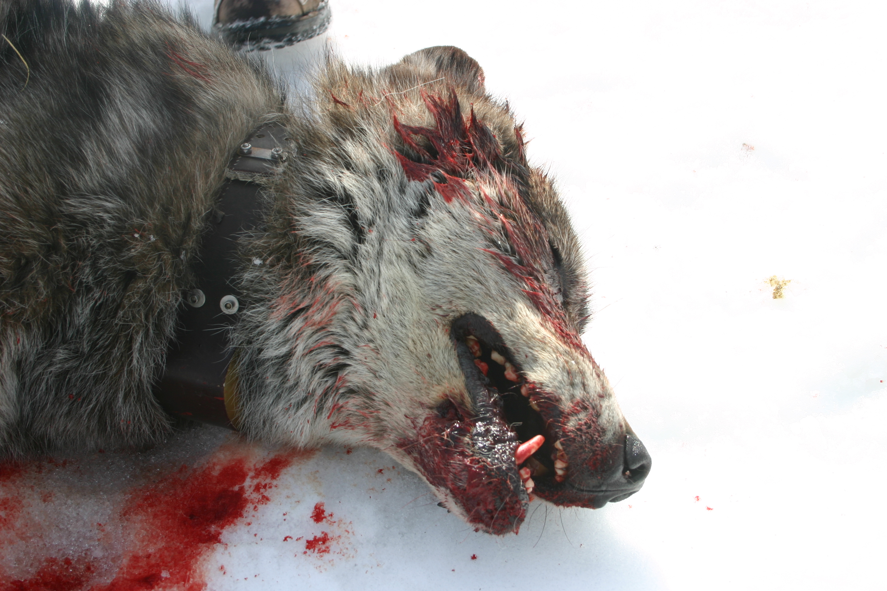 golden eagle hunting wolves. The future of wolves in Idaho