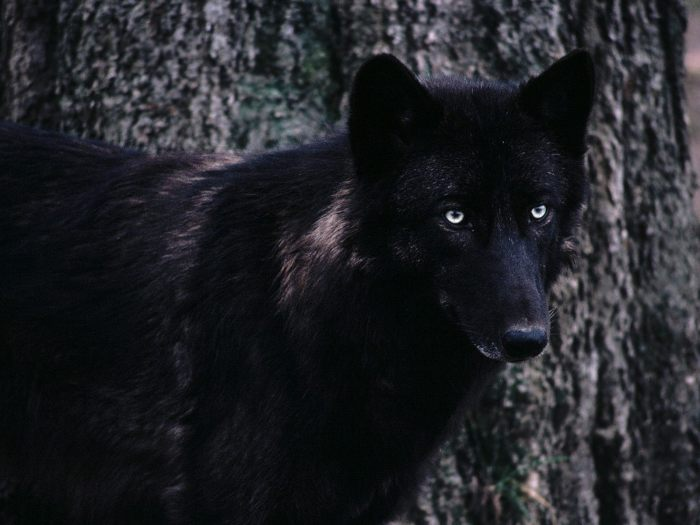 Angry black wolf red eyes - photo#22