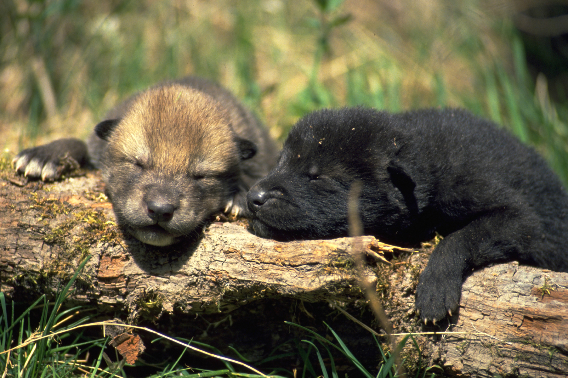 more puppies all about wolves | Howling For Justice