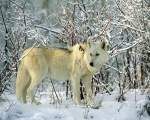 white winter wolf _ all aboutwolves