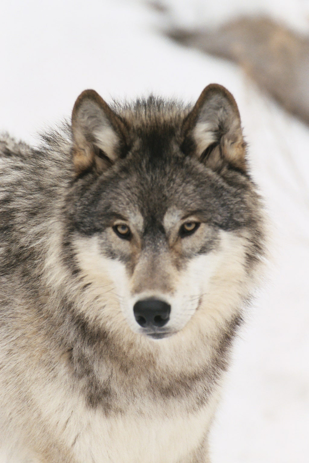 Rockies friends of the clearwater winter wolf all about wolves