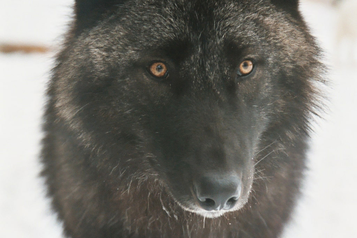 black wolf with yellow eyes - photo #27