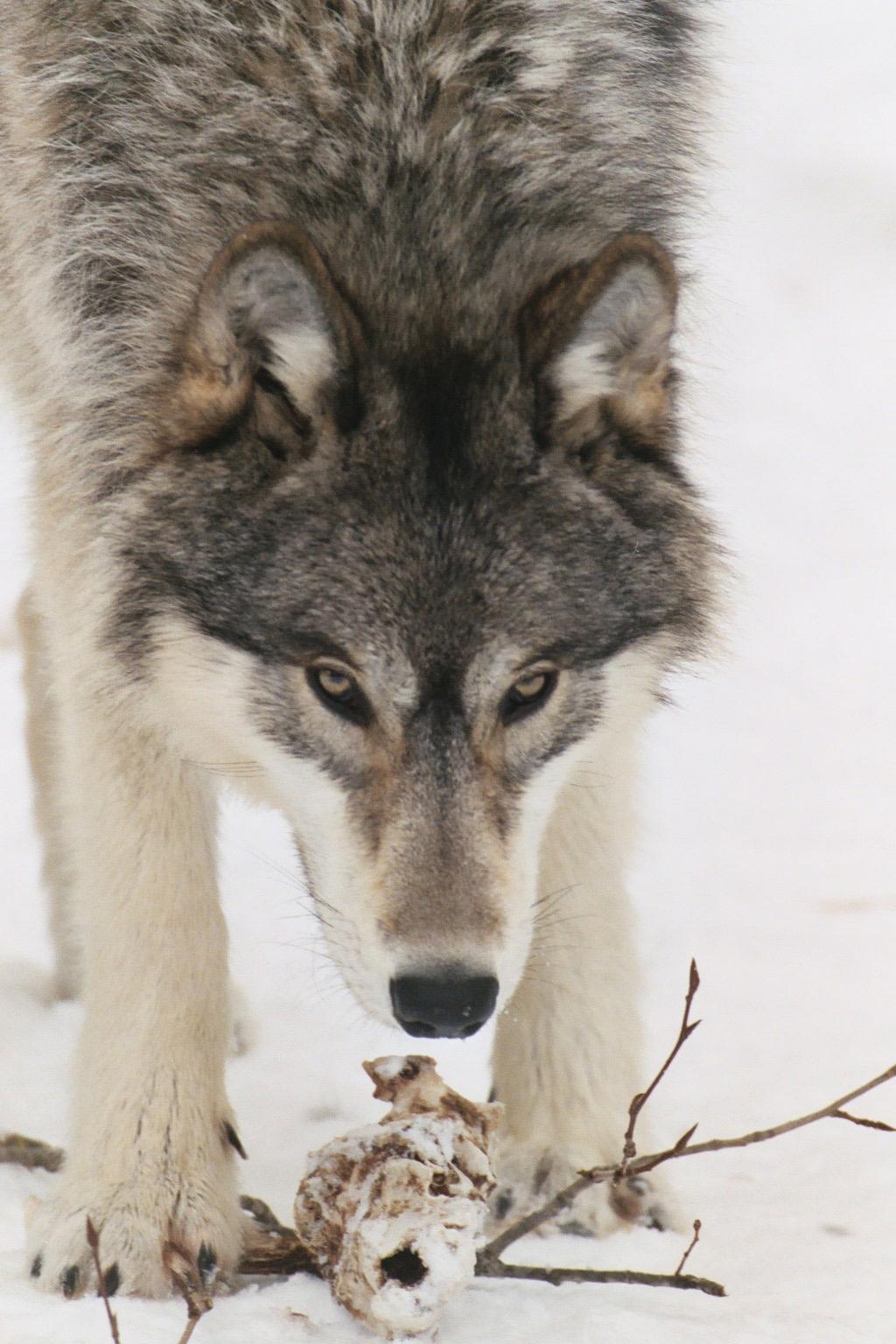 letter to president obama regarding wolves and the. Black Bedroom Furniture Sets. Home Design Ideas