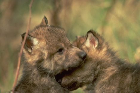 Puppies on What About The Wolf Mothers In The Lolo     Howling For Justice
