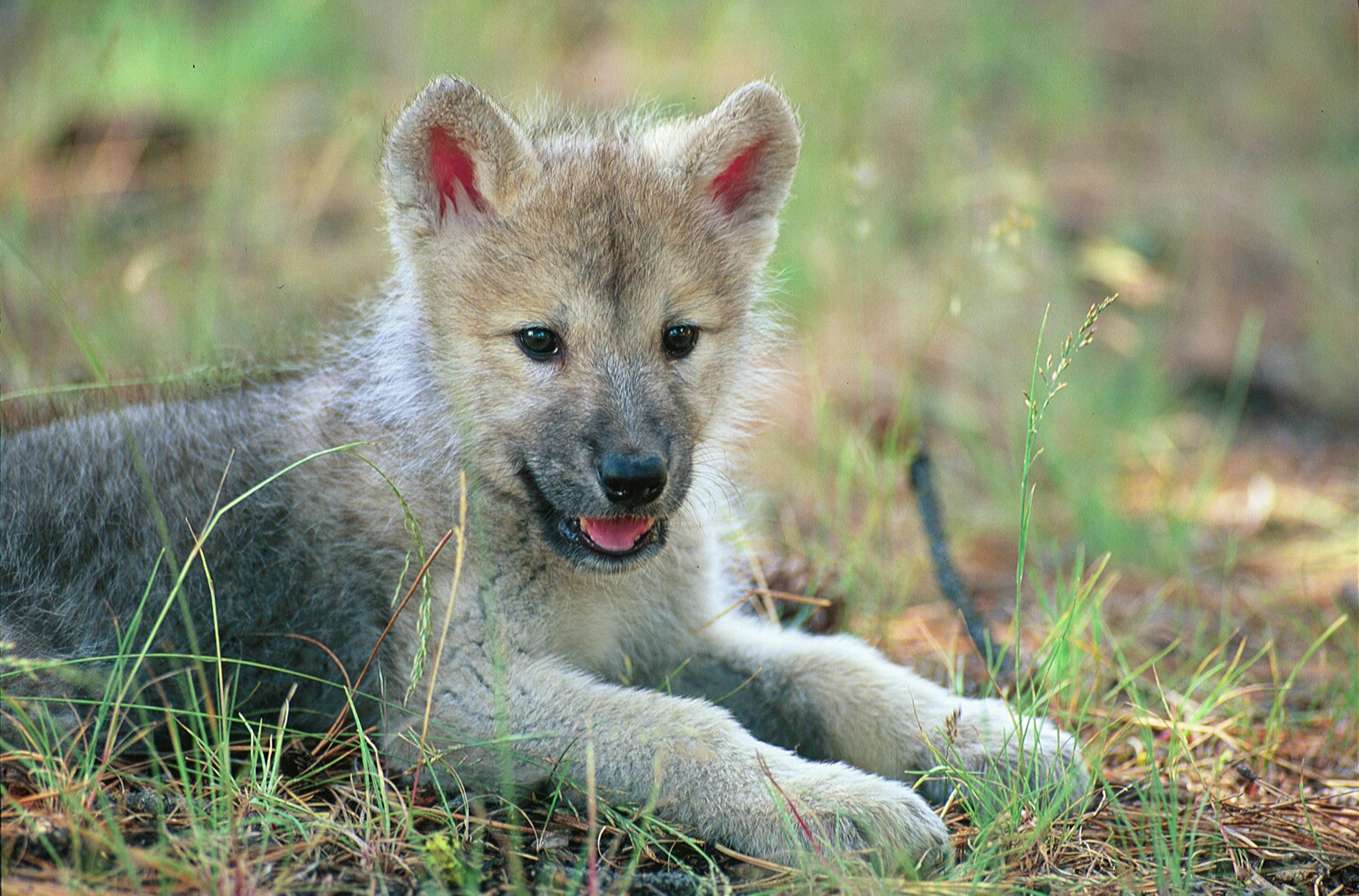 Gray wolves pups howling