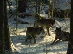 wolves in snowkewl