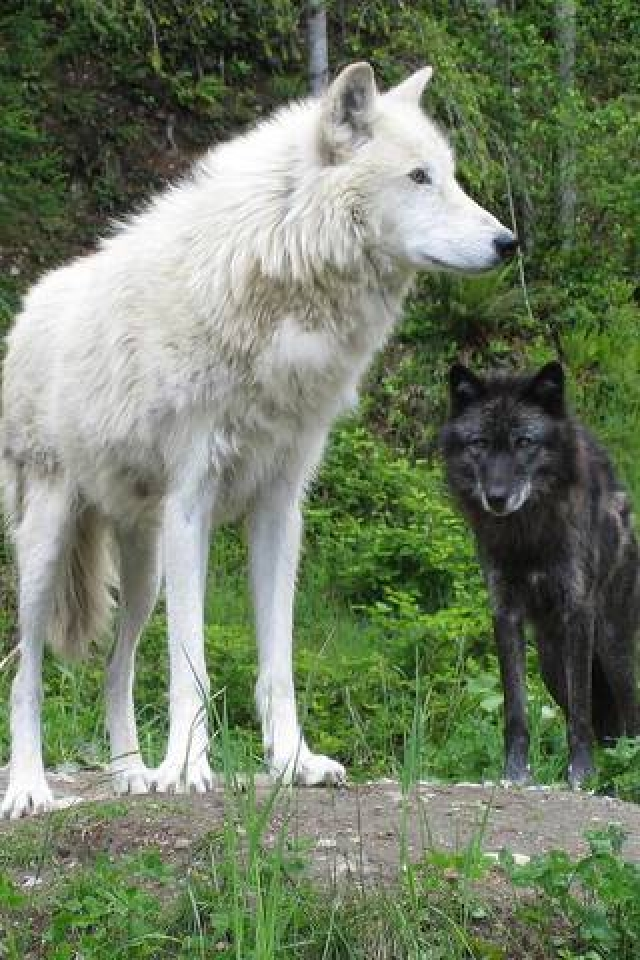 White Wolf And Black Wolf In Love black_and_white_wolf |...