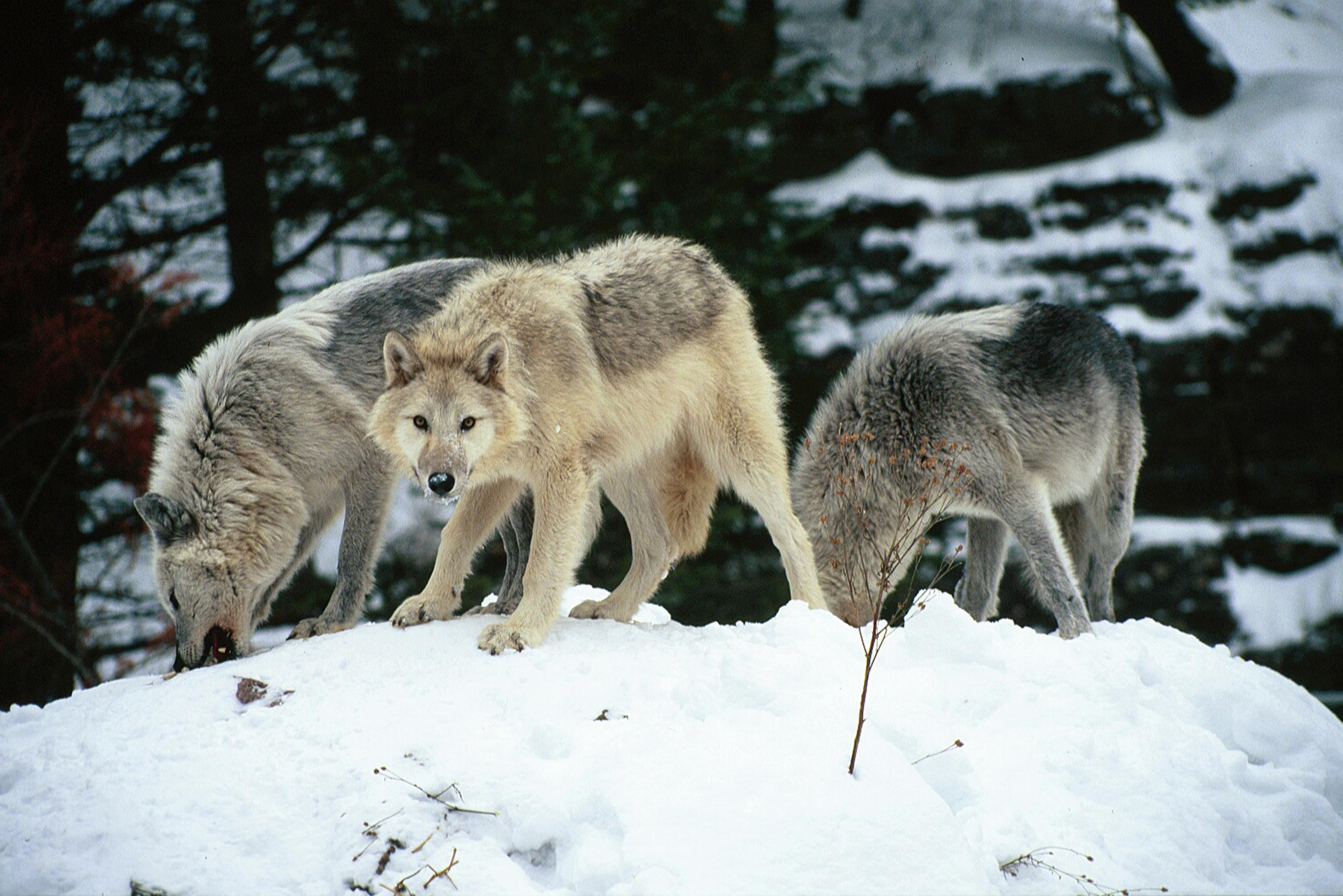Prayer for idaho's wolves… wolf pack all about wolves 1