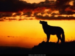 a lonely howl _all aboutwolves