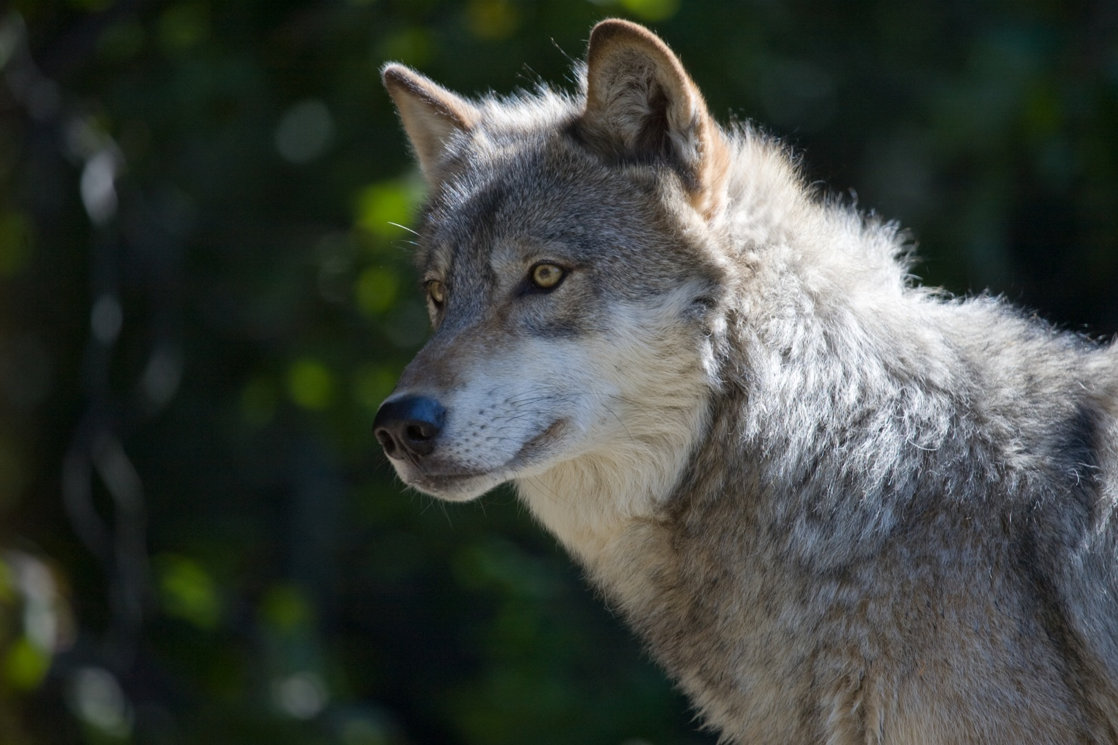 Time sensitive!! take action for oregon wolves now!! » gray wolf ii