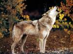 howling wolf FirstPeople