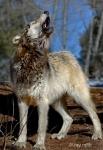 howling wolf rayrafiti