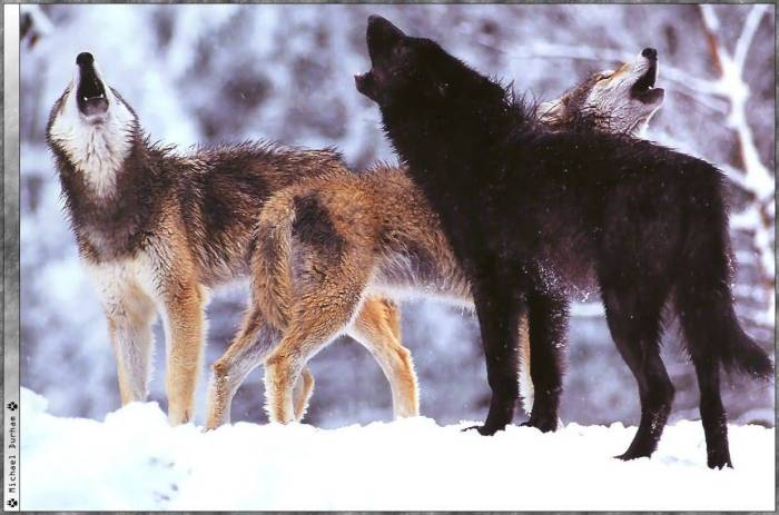 howling wolves First People
