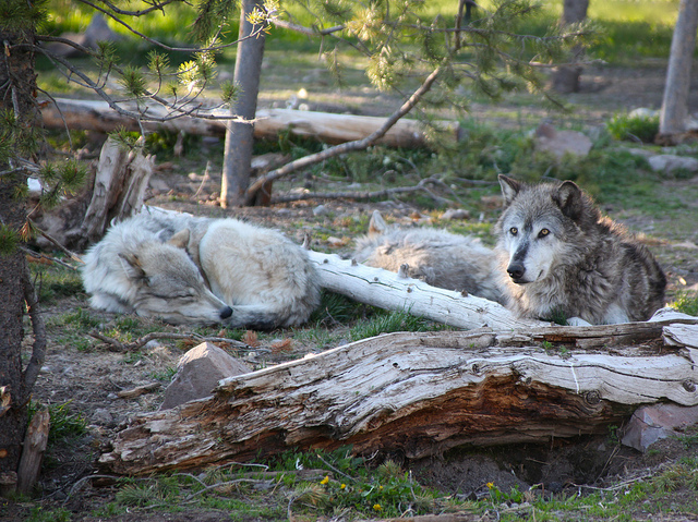 gray wolves flickr commons