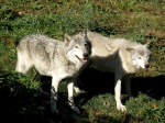Gray_wolf-flickr commons