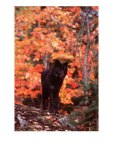 Black-Timber-Wolf-in-Autumn-Forests