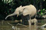 Forest elephants in the Mbeli River Nouabale Ndoki National ParkCongo
