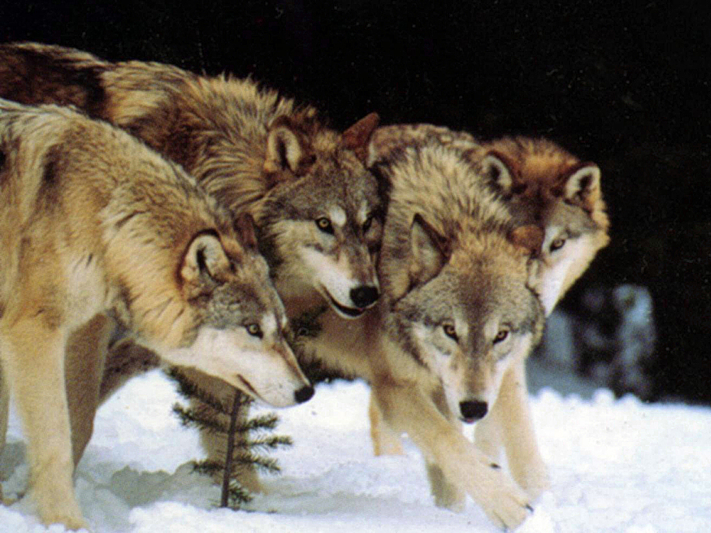 For immediate release howling for wolves in helena wolf pack