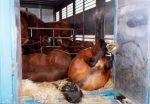 Horses being killed in slaughterhouses