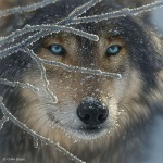 Wolf_Fire in Ice_CollinBogle