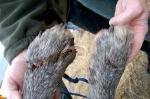 B 412_injured paws3