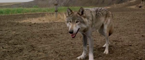 the importance of loyalty in the film dances with wolves Title: length color rating : dunbar's perspective on the indians in the film dances with wolves essay - dunbar's perspective on the indians in the film dances with wolves this film starts.