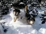 wollves running throughsnow