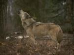 howling wolf kewlwallpaersdotcom