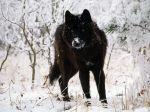 black wolf in snow beautiful eyeskewl