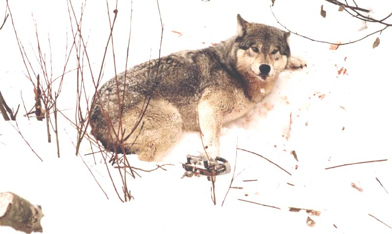 Trapping And Killing Wolves With A Smile Howling For