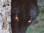 Beautiful Black WolfWallpaper