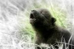 British Columbia WolfPuppy