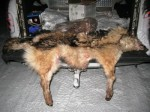 poached wolf pelts